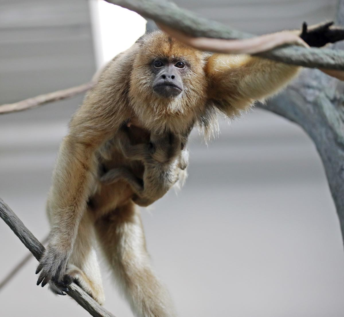 Howler Monkey at RWP Zoo in Providence