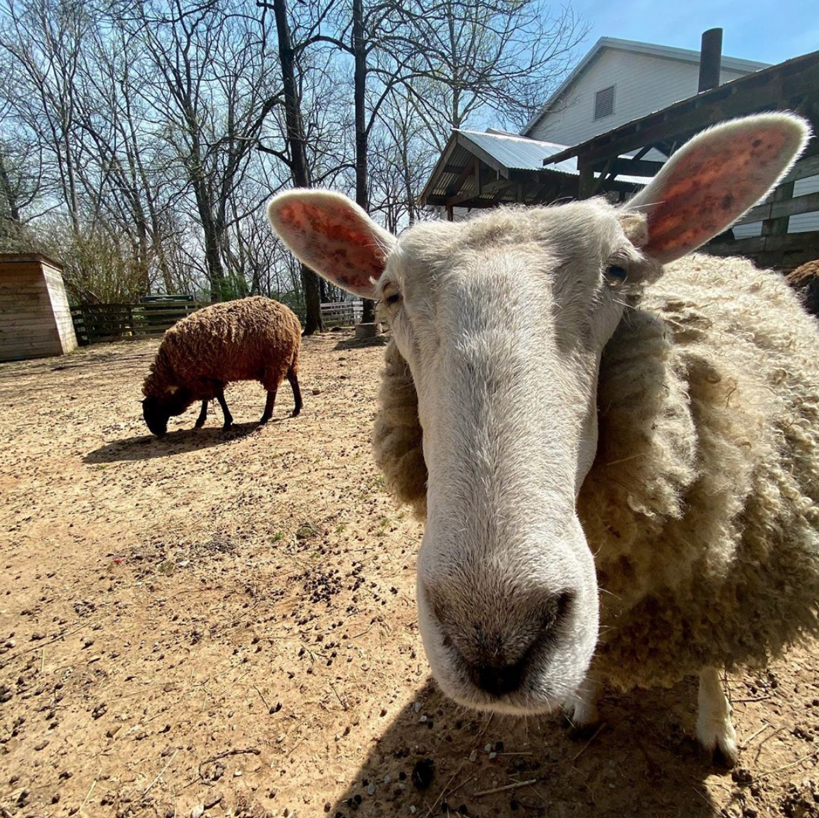 burritt on the mountain sheep