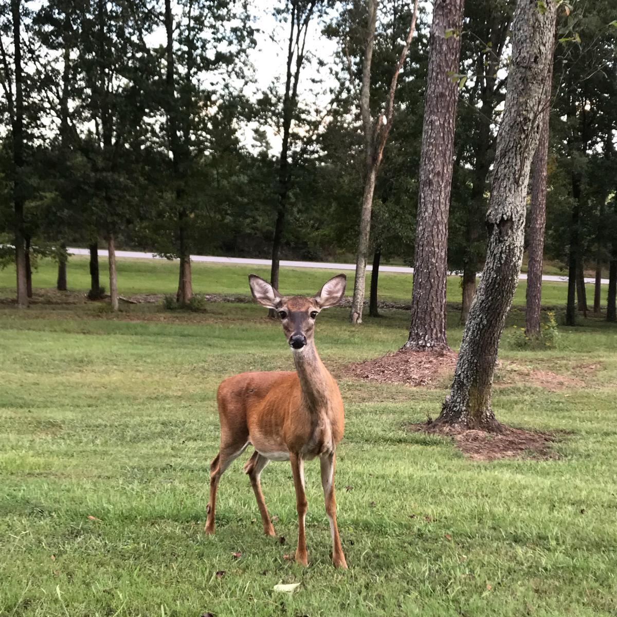 lake guntersville sp deer