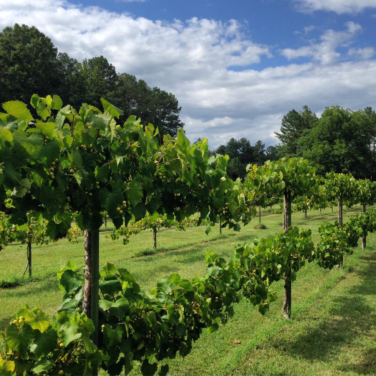 maraella winery grapes