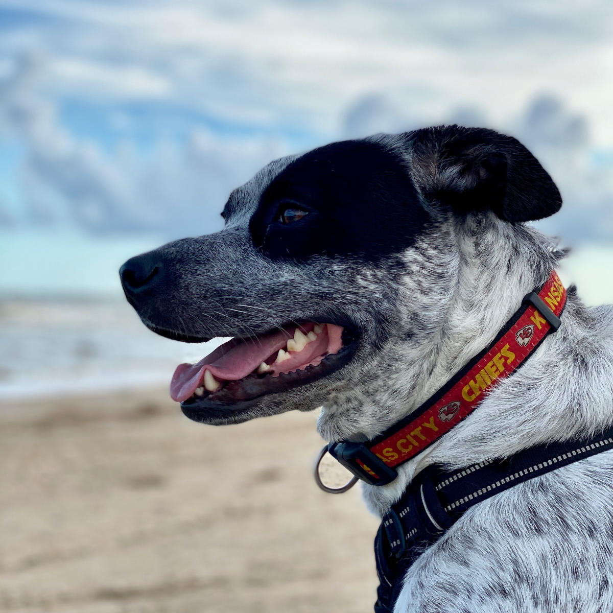 Close Up of Dog Overlooking a Beach in Beaumont