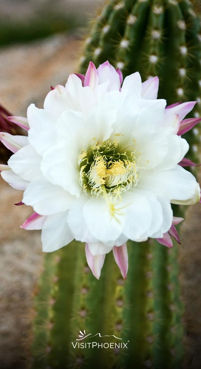 A flower blooming ona cactus