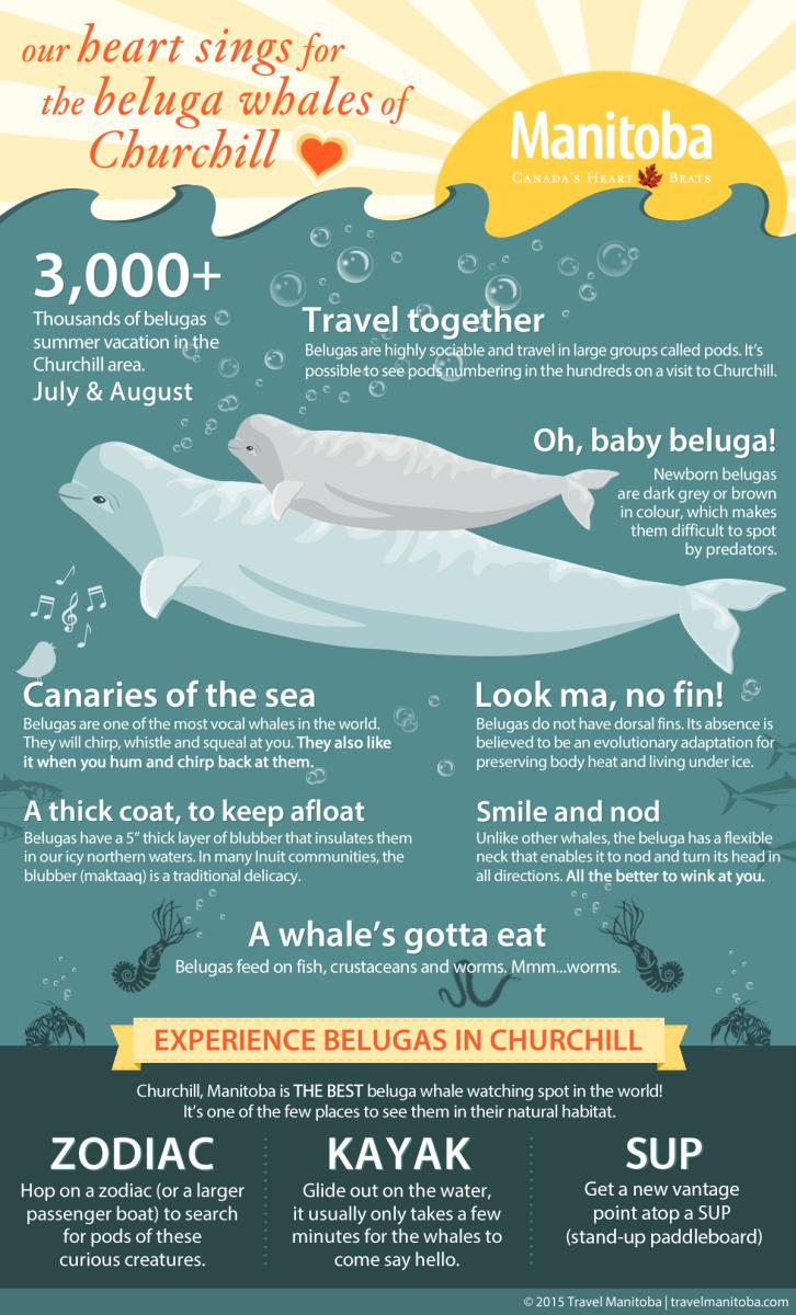 Beluga Whale Infographic
