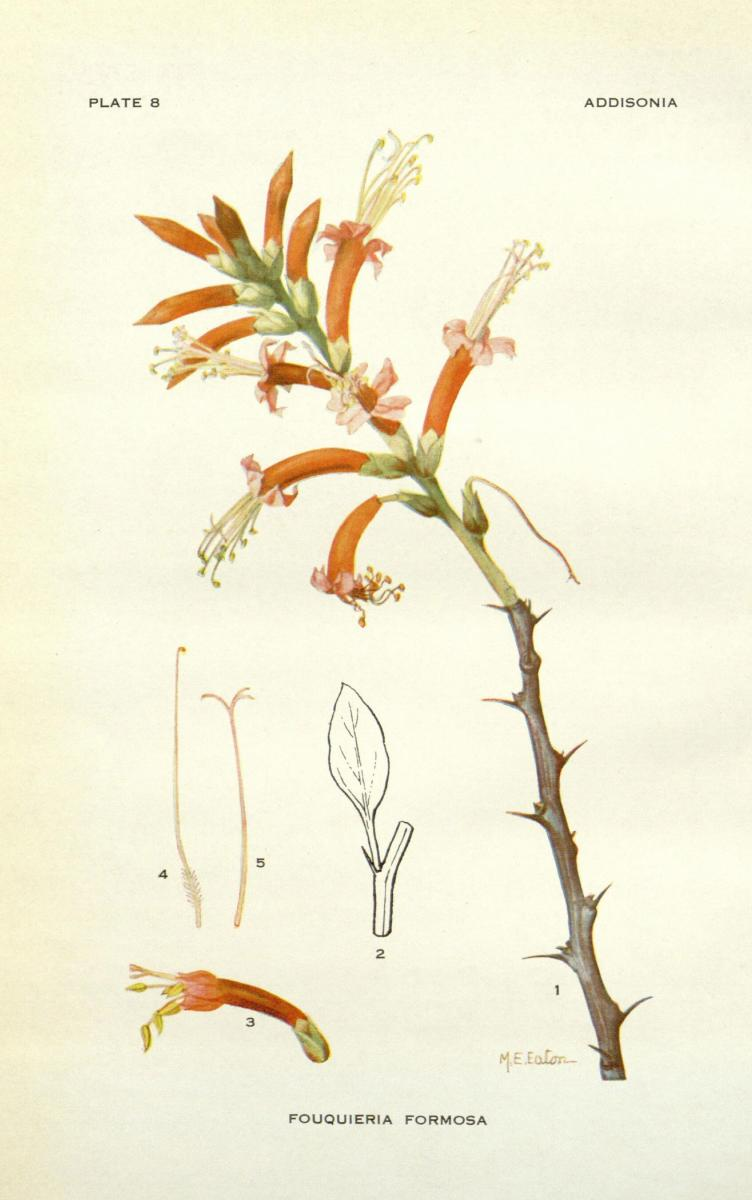 Ocotillo plant