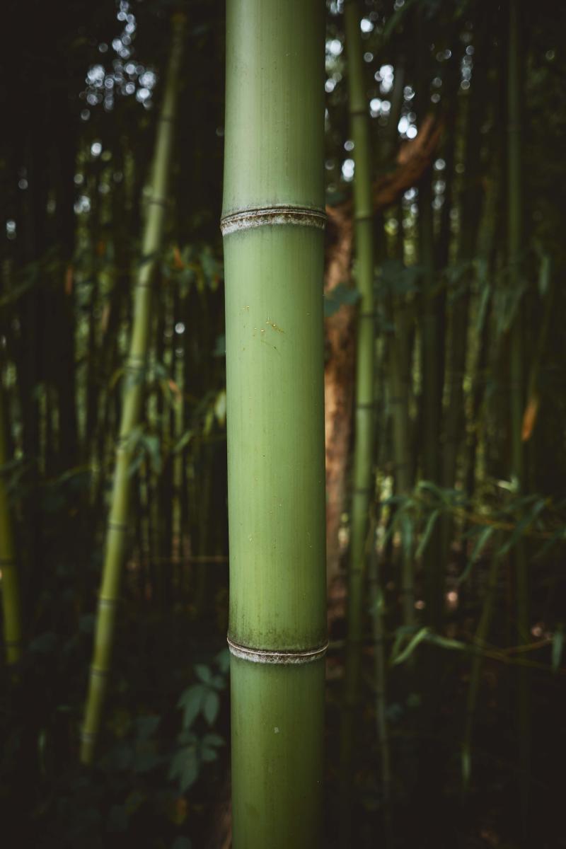 Robbins Park bamboo