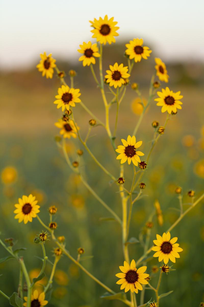 Pecos Sunflower, Santa Rosa, New Mexico Magazine