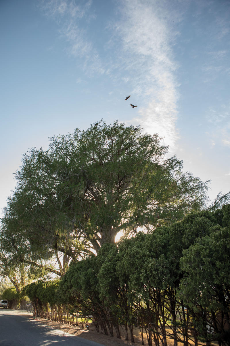 A State Champion Montezuma Bald Cypress in Las Cruces