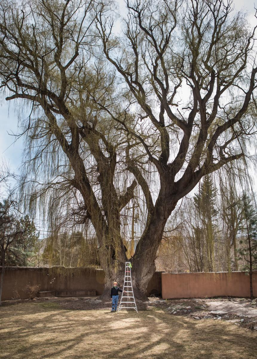 A National Champion Willow in Taos