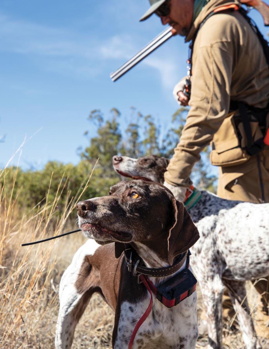 Bird-hunting dogs are essential to a quail hunt.