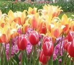 albany-tulips2.JPG
