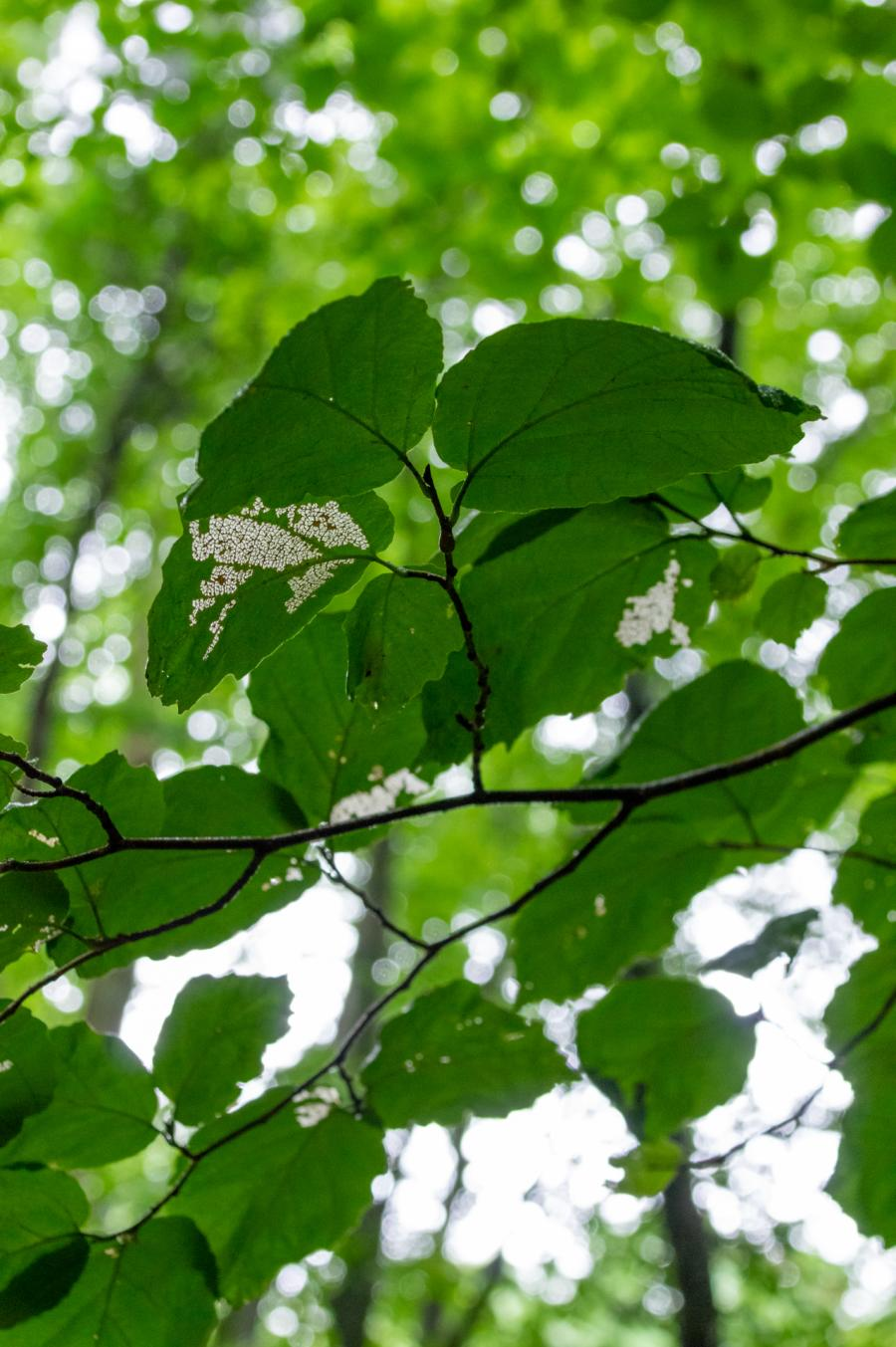 Keel Mountain Green Tree Leaves Eaten By Insects