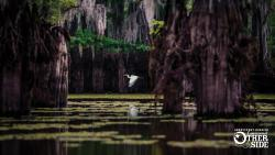 White egret flying through cypress trees in Shreveport-Bossier Caddo Lake
