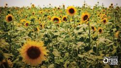 Field of blooming sunflowers along the Boom or Bust Byway
