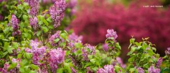 Rochester Lilac Festival - Flowers