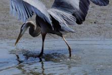 Arcata Marsh & Wildlife Birdwalk (RRAS)