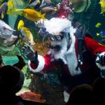 Diver in Santa suit swimming amongst fish inside Columbus Zoo's aquarium