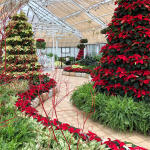 Holiday poinsettia trees inside Franklin Park Conservatory during their holiday event