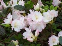 White Azaleas at Wilmington Azalea Fest