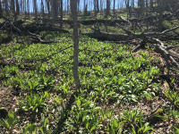 Forest full of spring ramps