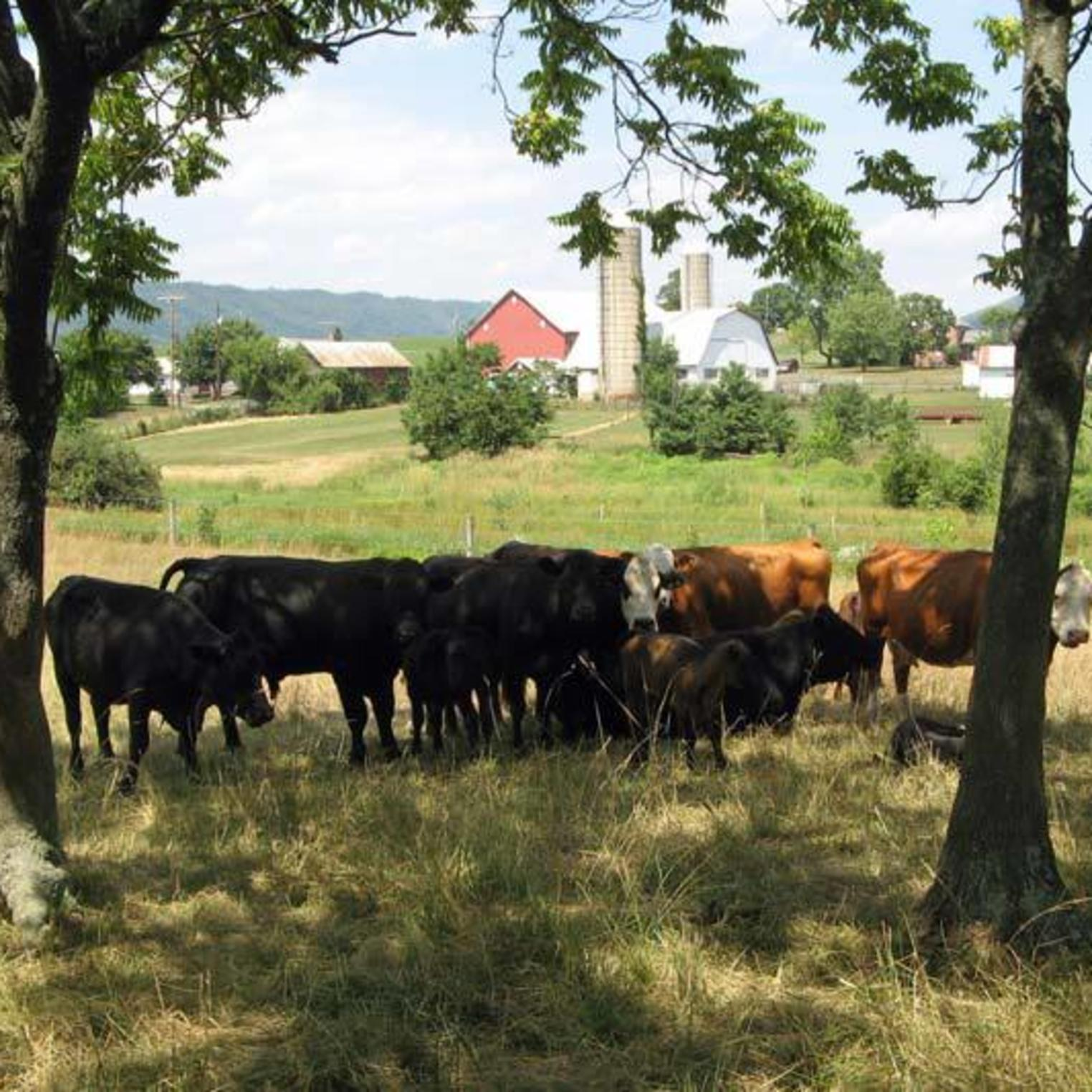 Cows along the Cumberland Valley Rail Trail