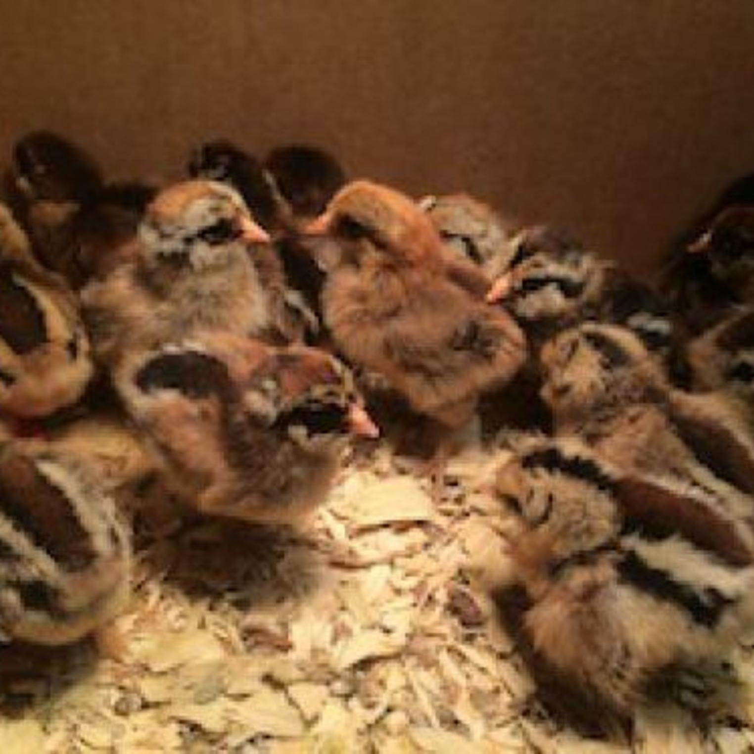 Chicks at Everblossom Farm