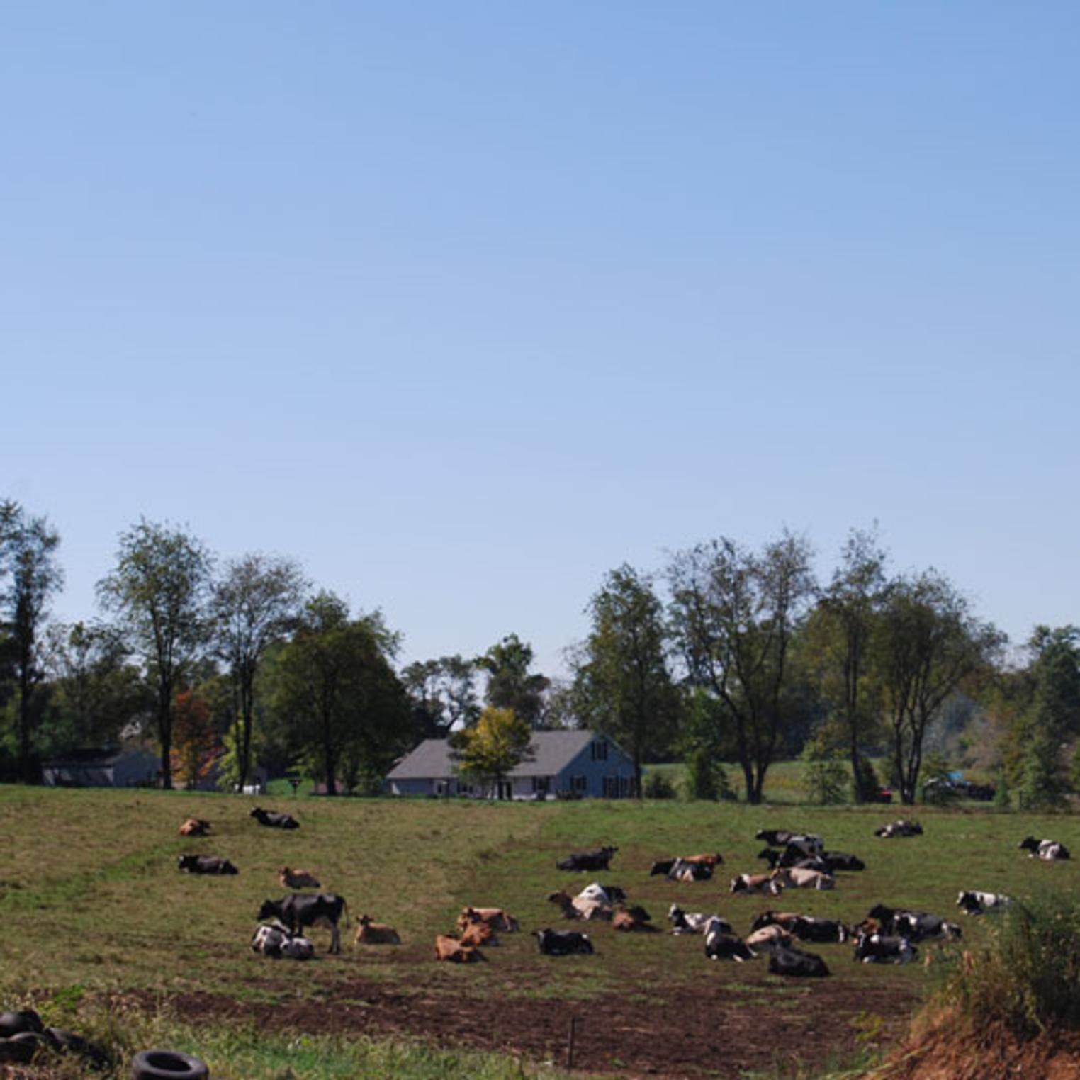 Cattle at Fulton's Dairy