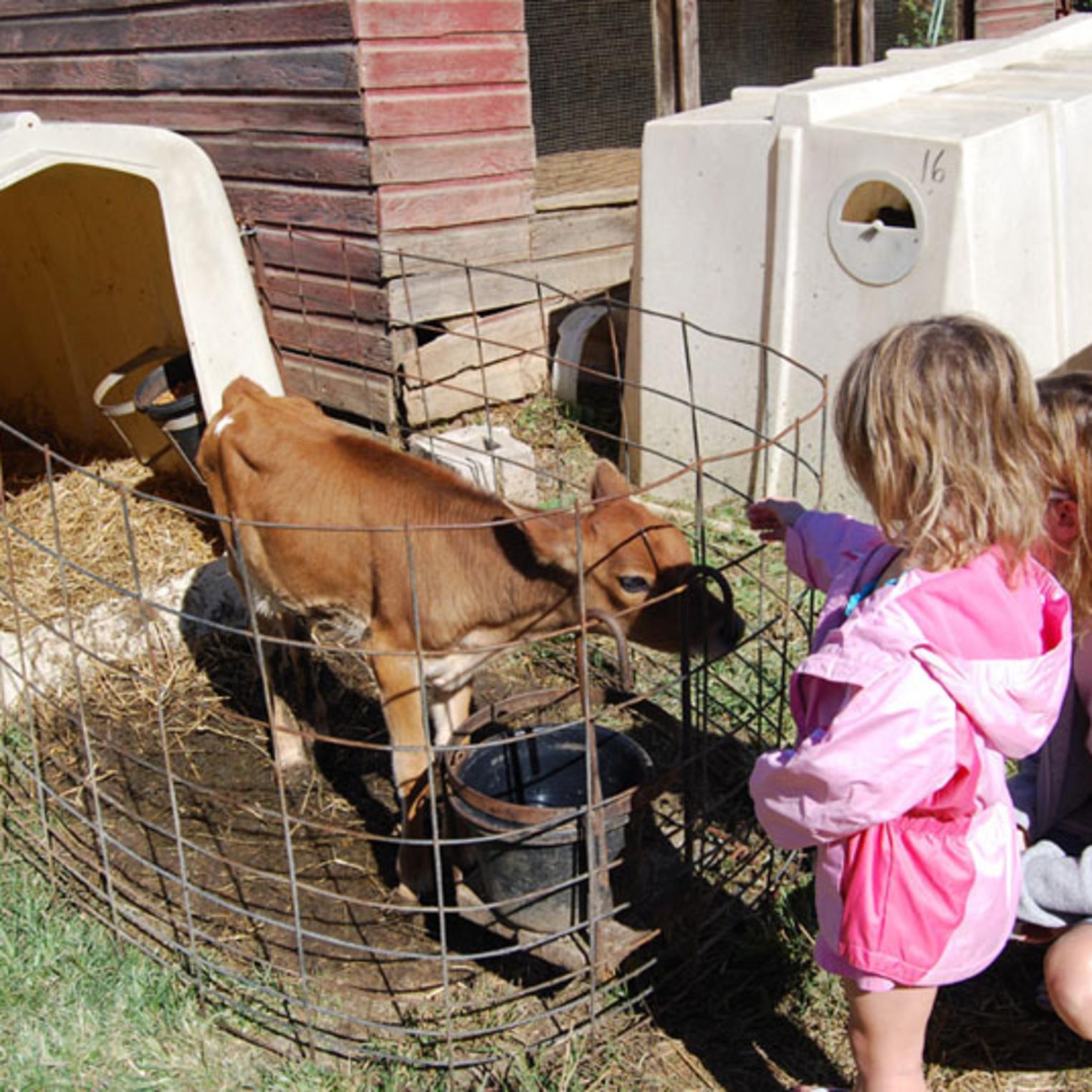 Calf at Fulton's Dairy