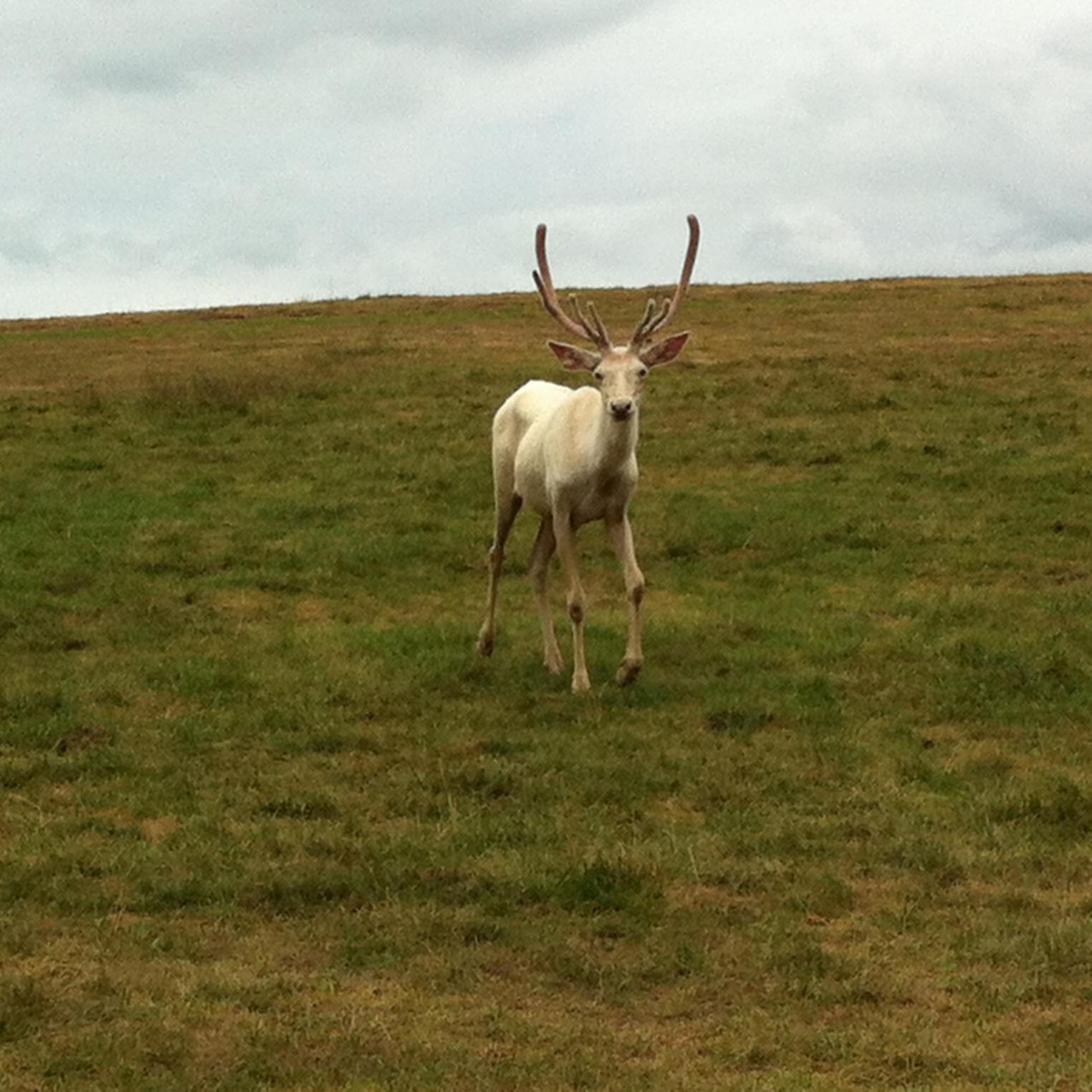 Albino Elk at Lake Tobias