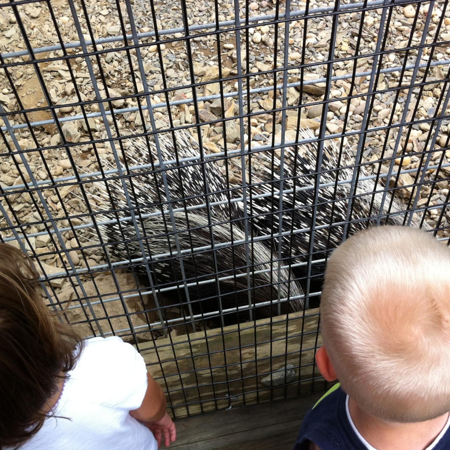 Porcupine at Lake Tobias