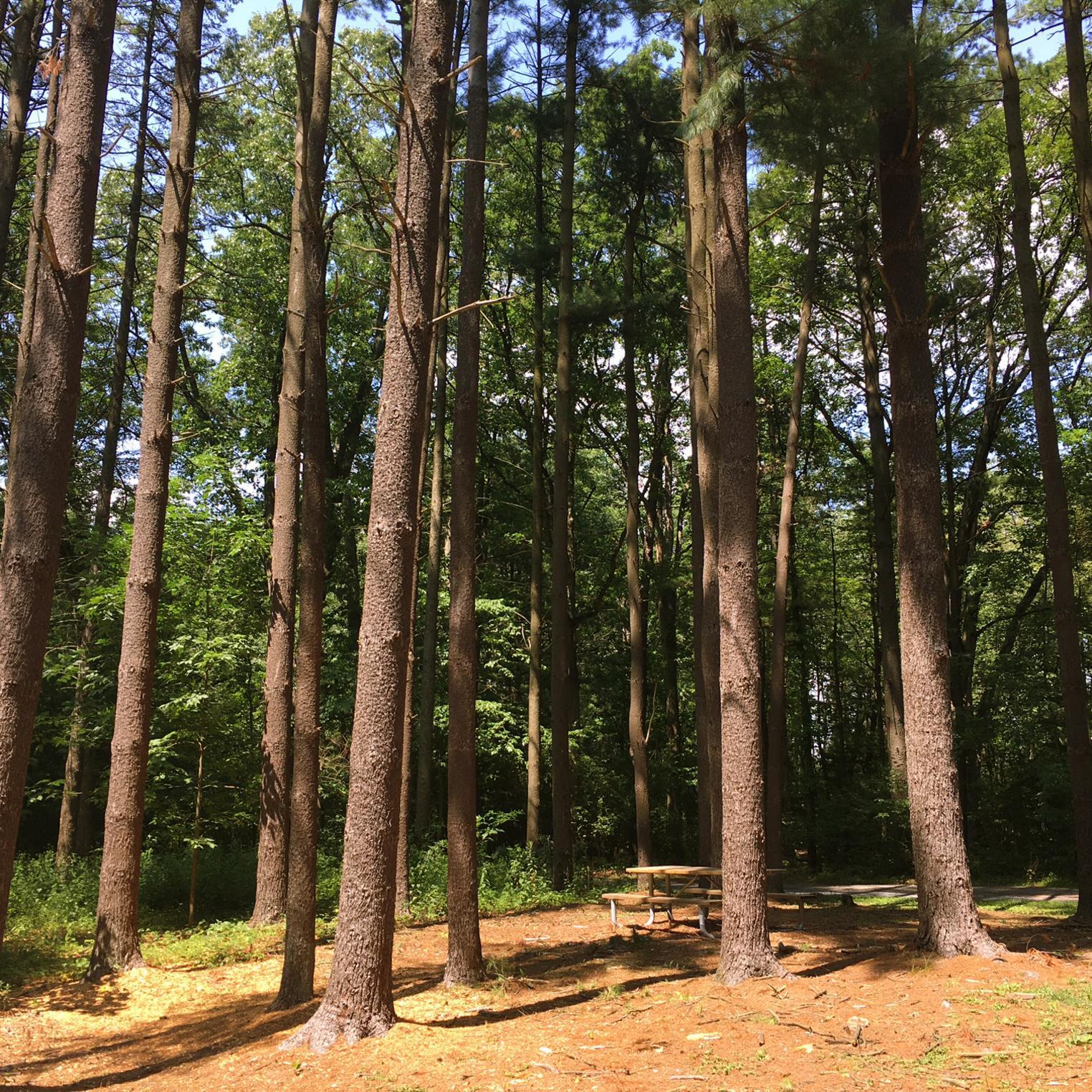 Pine Plantation Trail at Kings Gap