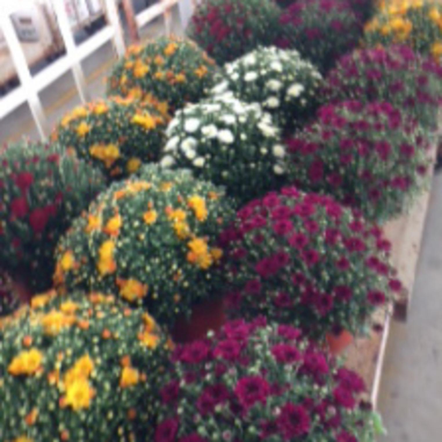 Mums at the Shippensburg Auction Center
