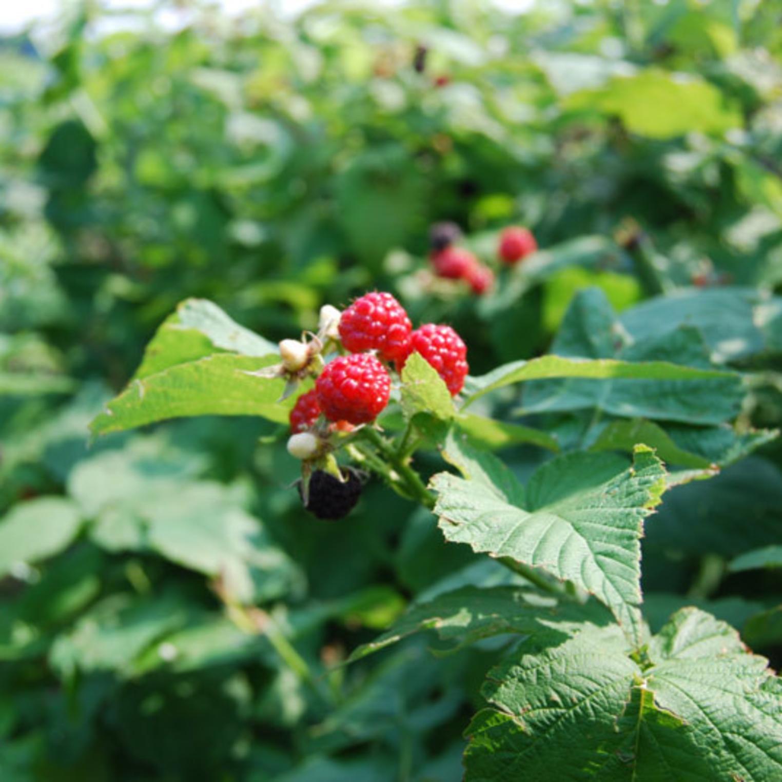 Oak Grove Farm U-Pick Raspberries