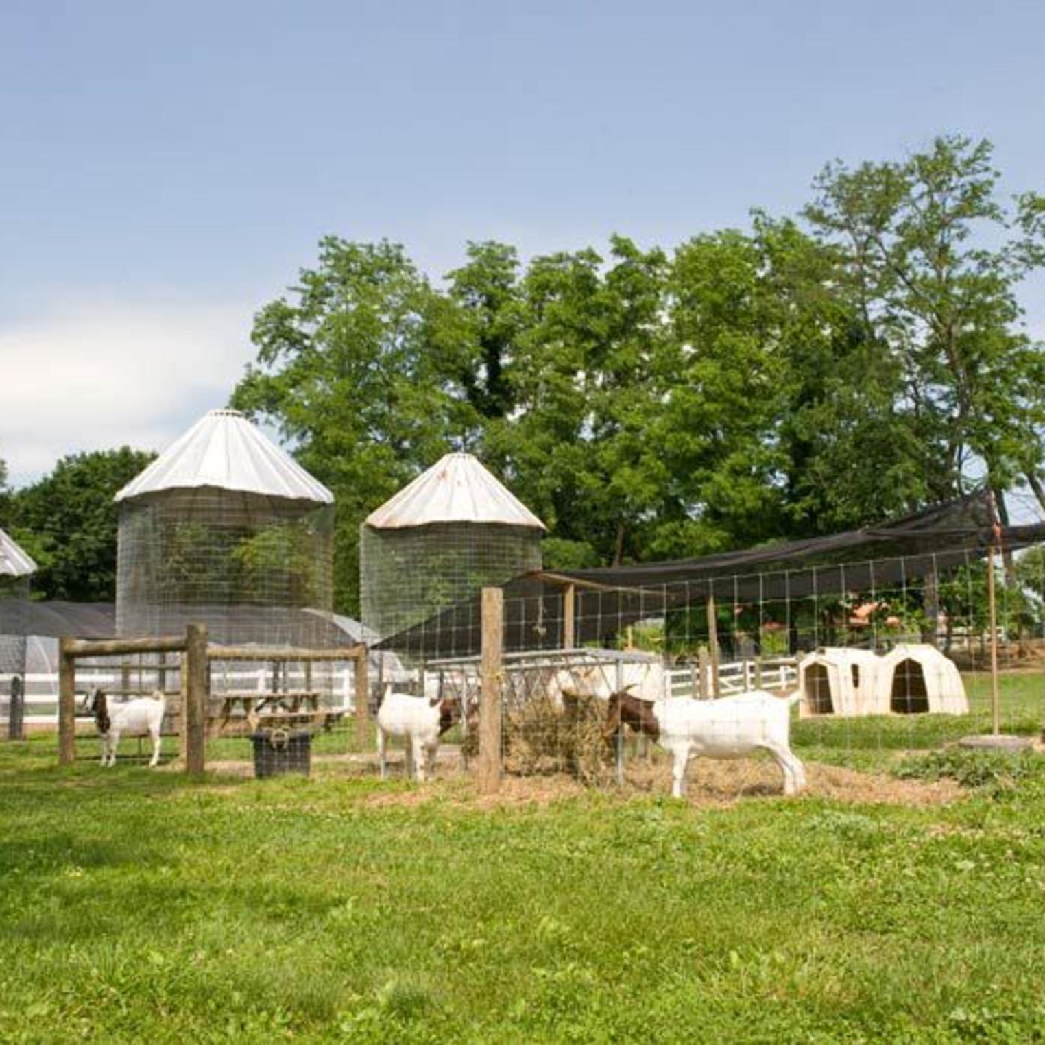 Paulus Farm Market Goats