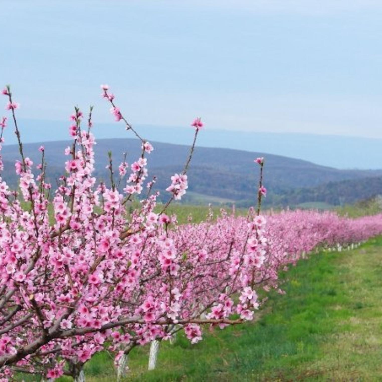 Boyer Peach Blooms
