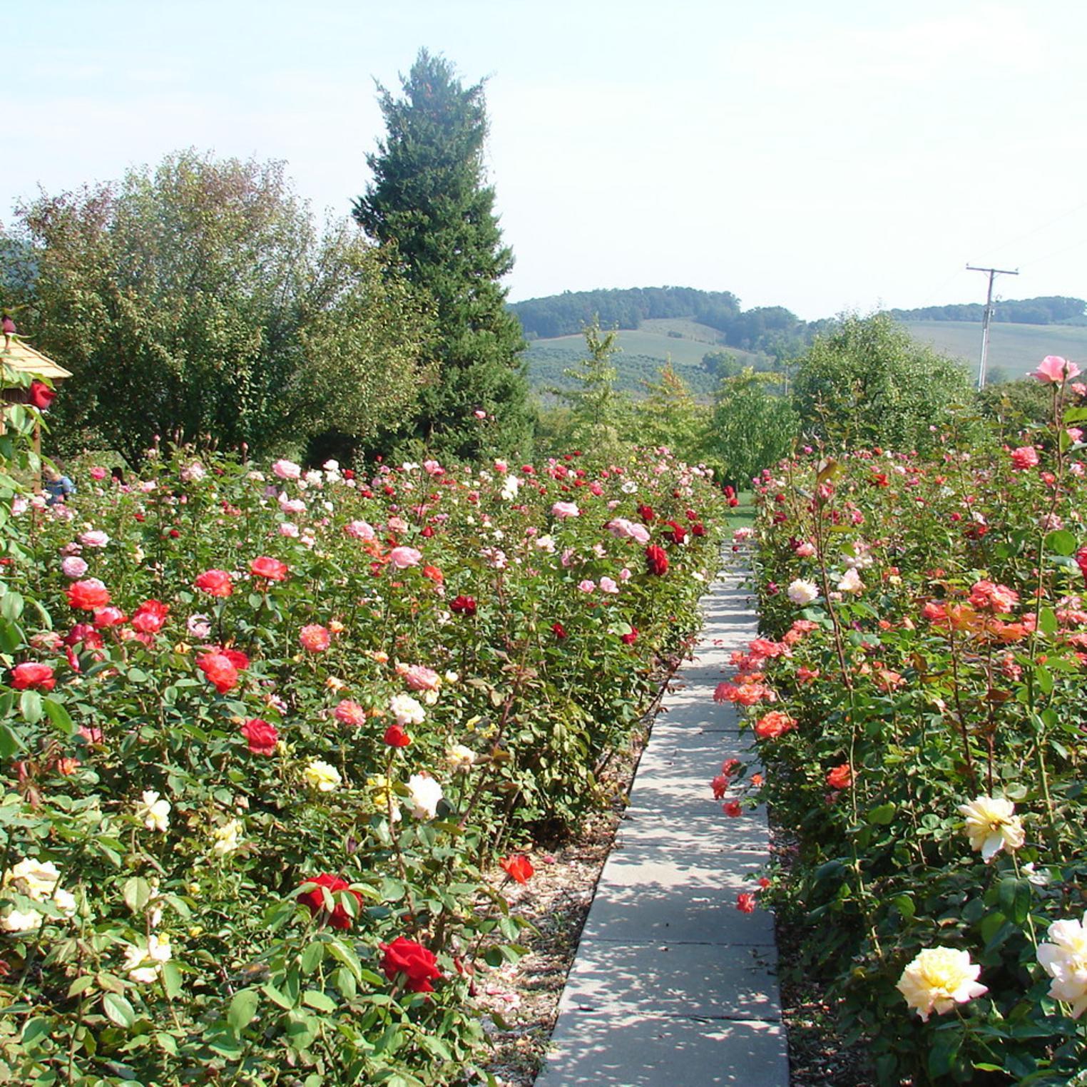 Boyer Roses