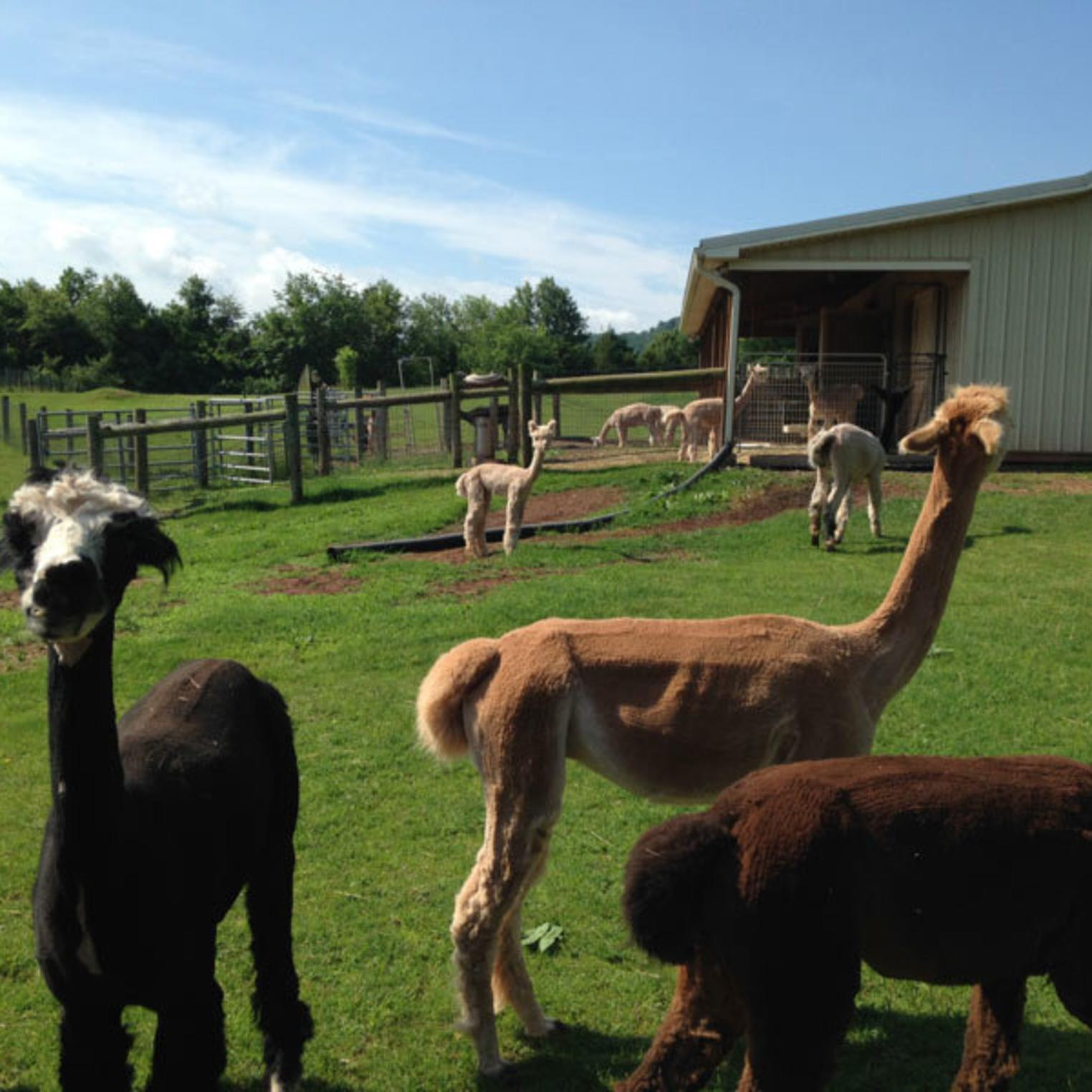 Starry Night Alpaca Farm