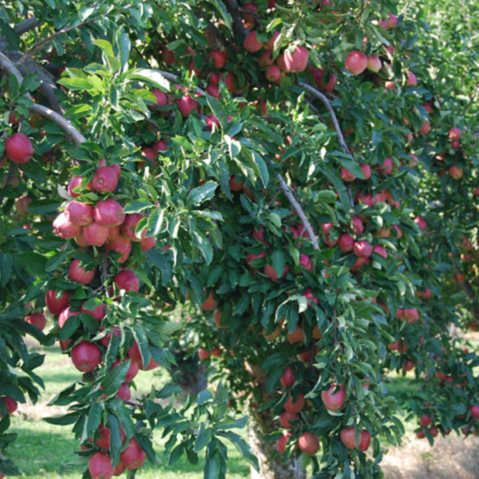 Apple Trees at Toigo Orchards