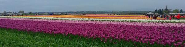 Skagit Valley Tulip Festival rows of lavender and purple tulips