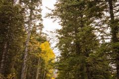 Alpine Loop Pine Trees