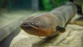 Tn Aquarium_Electric Eel