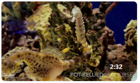 Ripley's Animal Spotlight: Pot-Bellied Seahorse