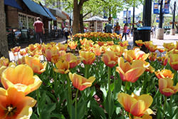 tulips on pearl