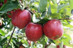 Red apples hang from a tree ready and waiting to be picked