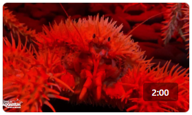 Ripley's Animal Spotlight: Porcupine Crab