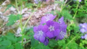 ​Purple Phacelia flower at the Charlestown State Park