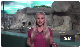 Ripley's Destination Education: African Penguins