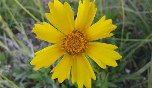 Sand coreopsis by Alyssa Nyberg