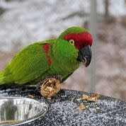 ZooAmerica - Thick-Billed Parrot