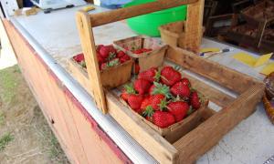 Strawberry Picking at Bricker Farm