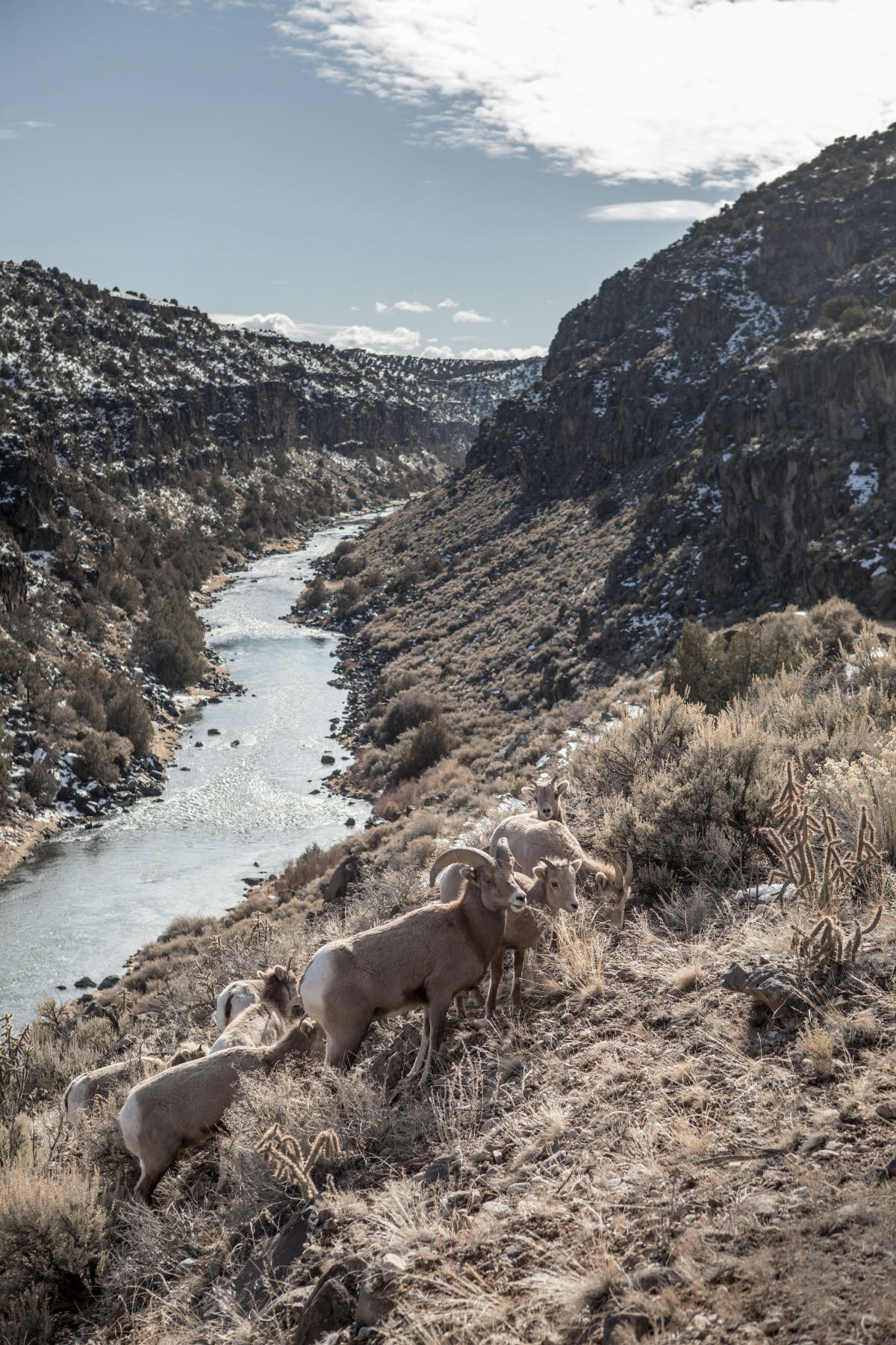 Bighorn in the Rio Grande Gorge